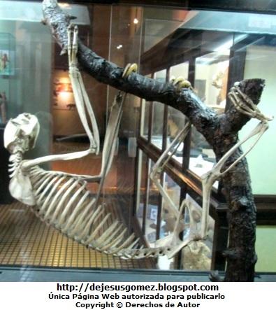 Foto al esqueleto de perezoso en el Museo de Historia Natural por Jesus Gómez