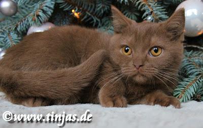 Cinnamon BKH kitten