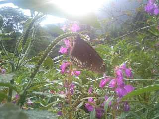 BUTTERFLIES FOUND IN SIKKIM