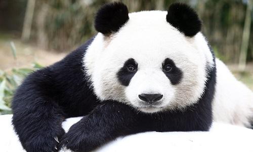 Panda Hayvanı Hakkında Bilgi