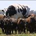 Boi gigante chama a atenção na Austrália