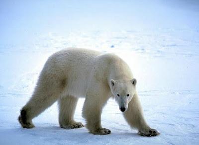 Fotografia de oso polar