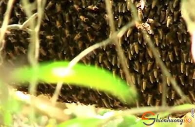 Tổ mật ong trong rừng