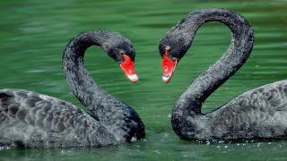 Pasangan Angsa hitam