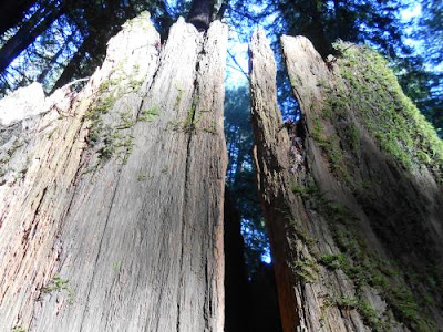 tree stump, redwood tree, nature picture