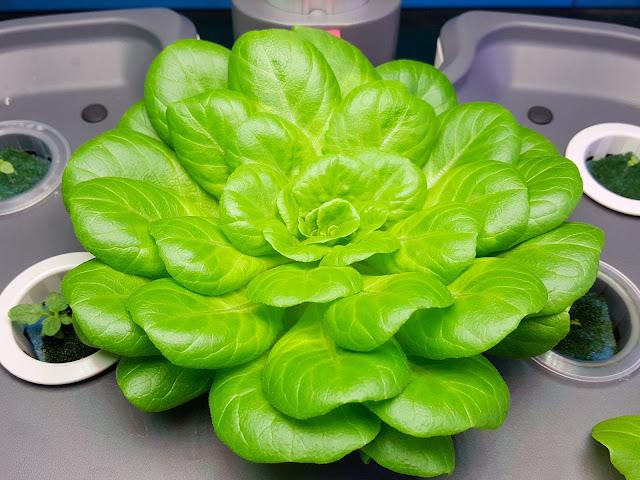 Tanaman Sayuran, Cara menanam sayuran dengan hidroponik, bentuk hidroponik, contoh hidroponik yang murah, media tumbuhb hidroponik,