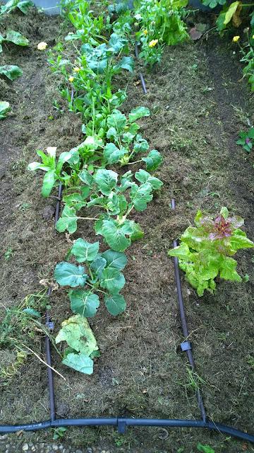 noch sind große Lücken zwischen den   kümmernden Gemüsepflanzen (c) by Joachim Wenk
