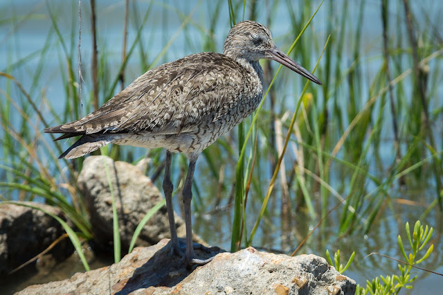 Willet, Bolivar Peninsula