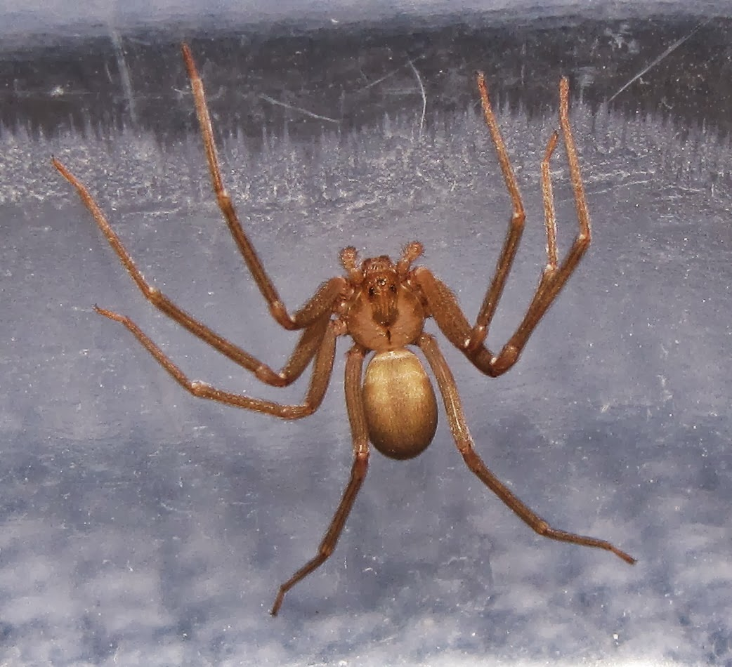 Bug Eric: Brown Recluse