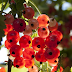 How to Grow Currants, Lots of Tips and Ideas for  Growing Currants