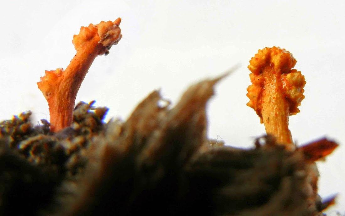 Ophiocordyceps variabilis orange stromata and perithecial ostioles