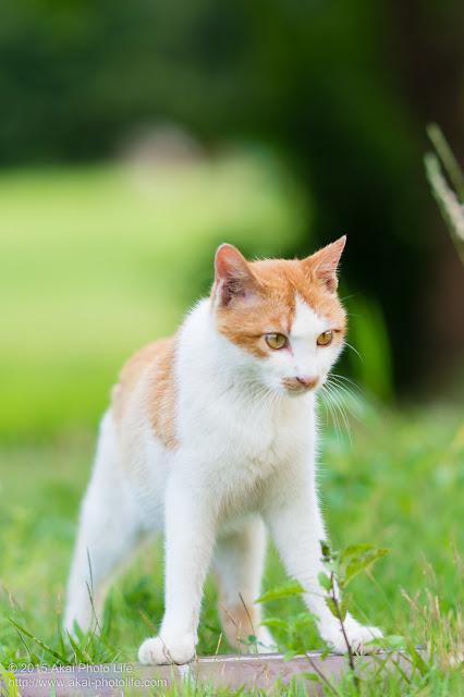 茶白の猫仁王立ち
