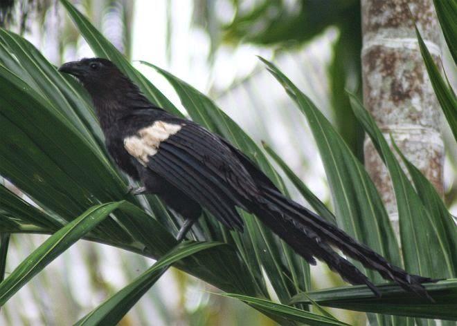 Cucal goliat: Centropus goliath