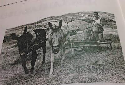 """Los milacres del """"Sebeta"""" 4, LA TIARRA, mules, burros"""