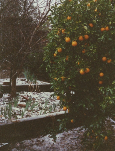 Lemons in December that Survived Frost