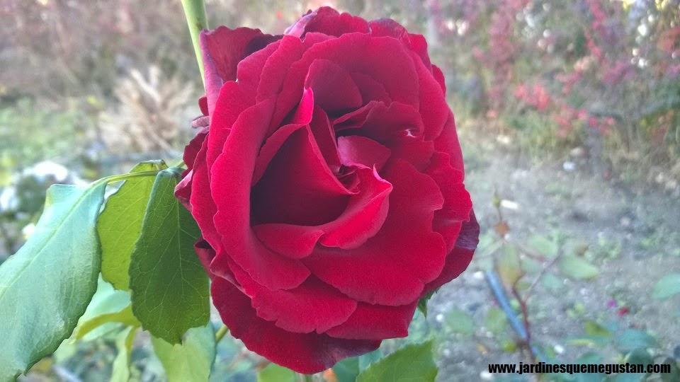 planta, rosal de flor burdeos