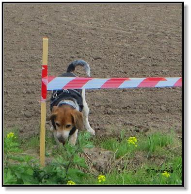 der Beagle gräbt
