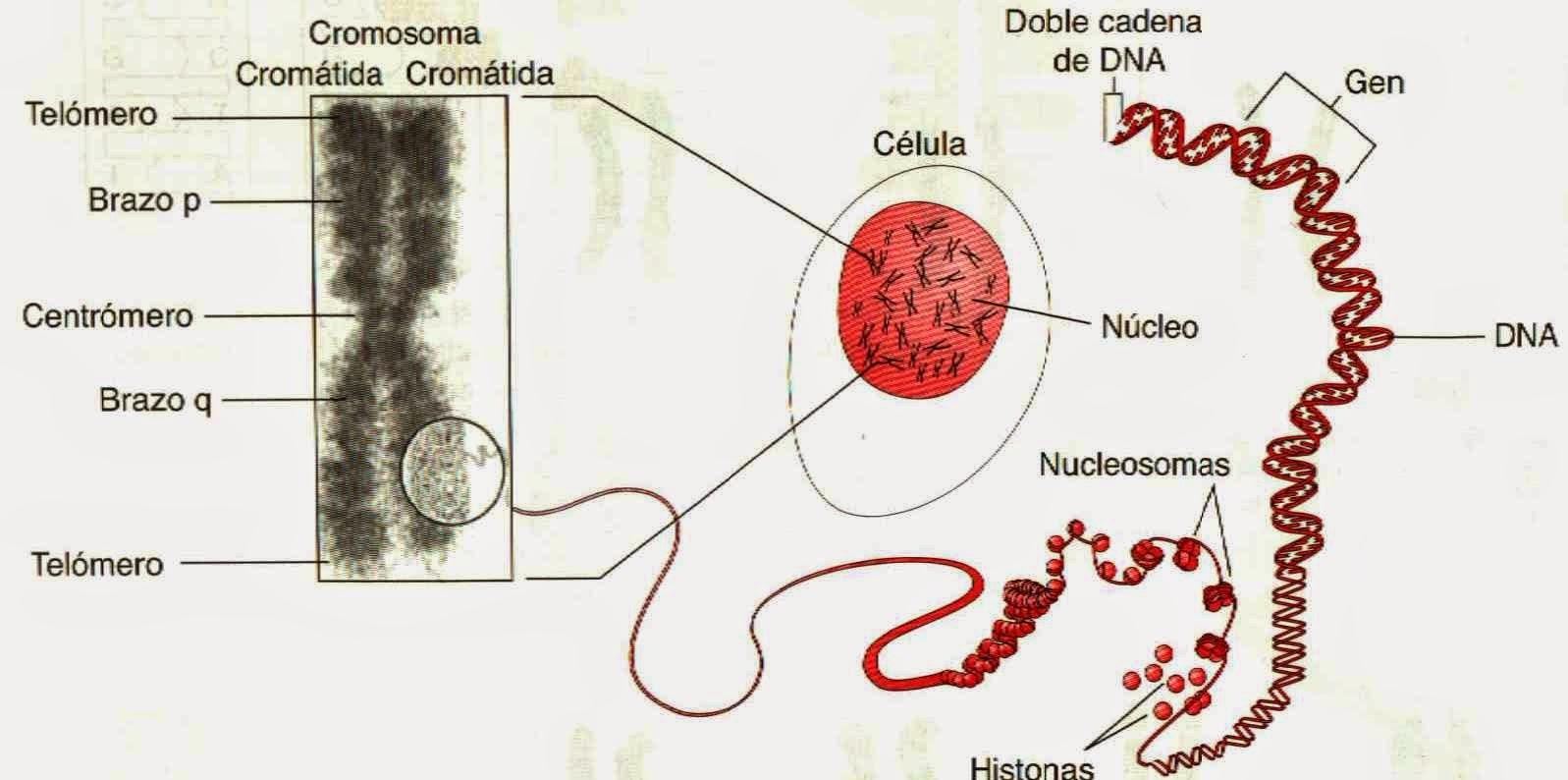 Apuntes De Biotecnología Estructura De Los Cromosomas