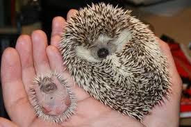 Top 12 Ways to Attract Mini Hedgehogs For Beginners - Bluelotusdc