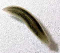 Contoh cacing pipih kelas Turbellaria
