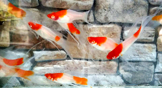 Jenis ikan molly termahal Santa Clause Lyretail