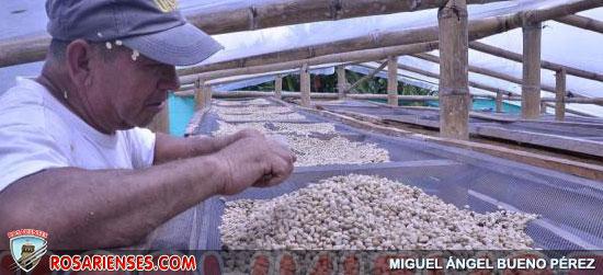 Gobierno triplicó la ayuda a caficultores | Rosarienses, Villa del Rosario