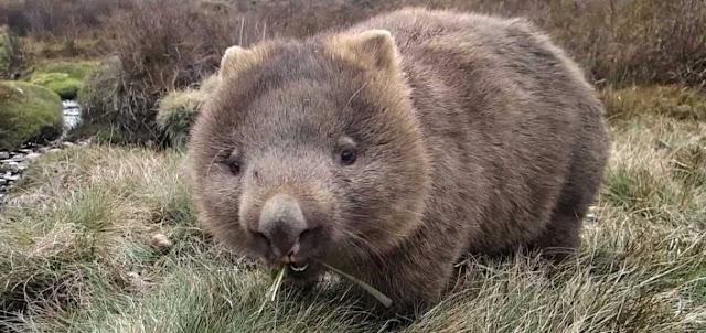 Wombats y animales