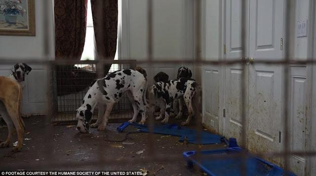 La Cruela de Vil de la vida real; tenía 84 gran danés en una mansión; ya está tras las rejas
