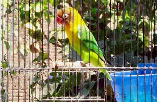 Burung Lovebird - Beberapa Hal yang Harus Diperhatikan Dalam Penjemuran Burung Lovebird -  Penangkaran Burung Lovebird