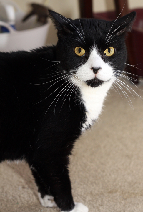 FIV cat adoption, special needs cat adoption, adopt a shelter cat month