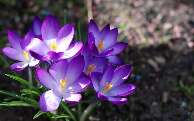 Paarse krokussen in bloei tijdens de lente