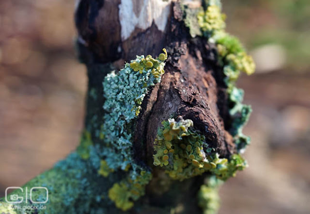 Photo: Yellow and blue lichen on a tree