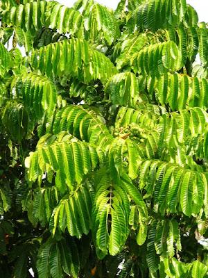 Pohon matoa dengan buah yang belum matang (berwarna hijau).
