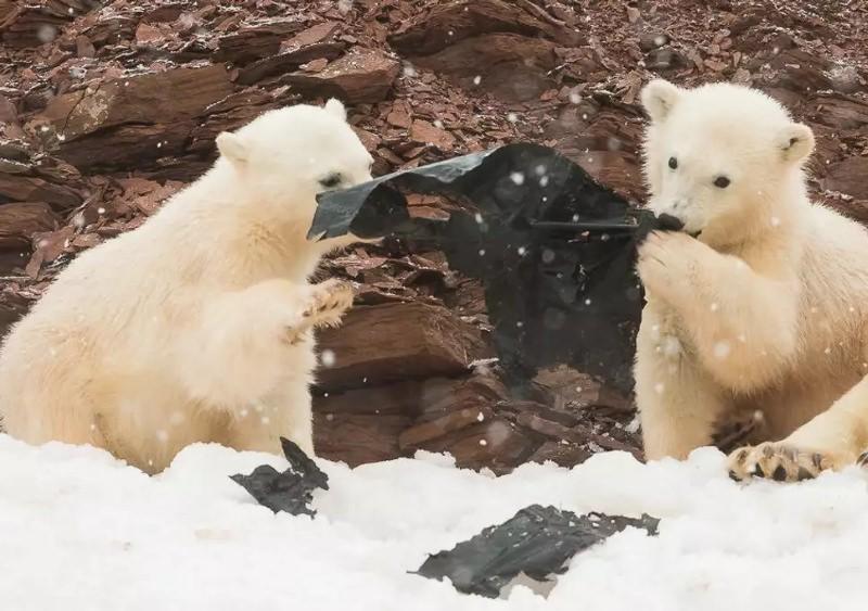 crias de urso polar brincam com plástico preto na neve