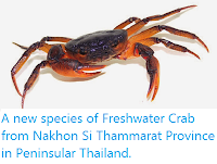 http://sciencythoughts.blogspot.co.uk/2014/10/a-new-species-of-freshwater-crab-from.html