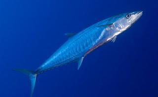 umpan mancing tenggiri,cara memancing ikan tenggiri,pancing ikan tenggiri,cara mancing ikan gabus,cara mancing ikan mujair,cara mancing ikan kerapu,cara mancing ikan patin,