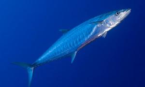 Cara Cara Mancing Ikan Tenggiri
