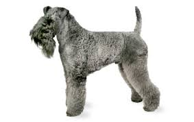Anjing Ras Kerry Blue Terrier