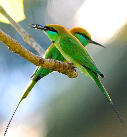 Birds of India - Asian green bee-eater - Merops orientalis