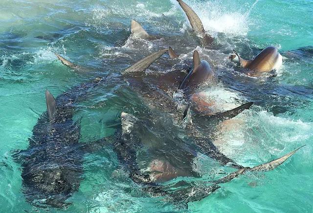 Tubarões devoram uma baleia