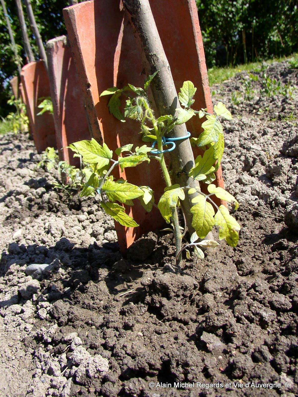 Plant de tomates en rang