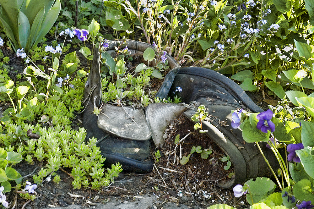 An old pair of boots hidden in a garden corner, filled with ground cover.