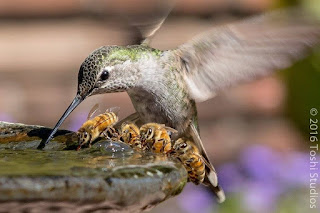 a hummingbird and some bees drinking from the same water source