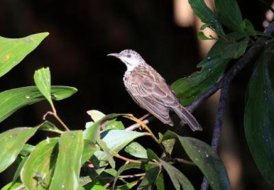 Ramsayornis fasciatus