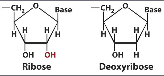 deoxyribose vs ribose - photo #16