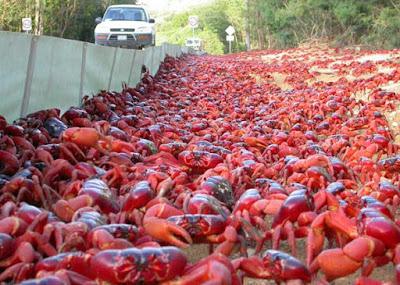 Todo ano, entre os meses de Novembro e Janeiro, milhões de caranguejos terrestres migram das florestas para o mar, com objetivos de reprodução e desova. Durante sua marcha rumo ao oceano, os caranguejos transformam o chão da ilha australiana em um tapete vermelho.