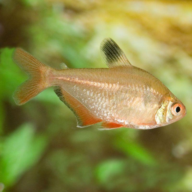 ikan cardinal