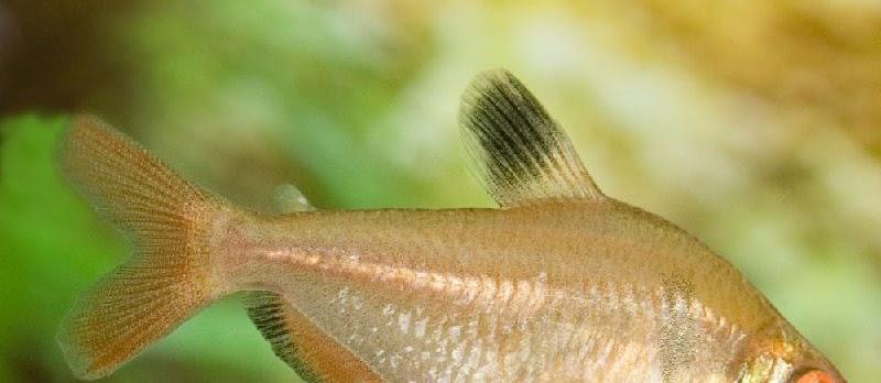 Panduan Lengkap Budidaya Ikan Hias Serpae Tetra