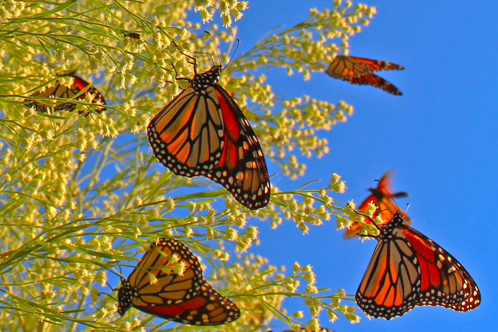 Monarch butterfly migration tree - photo#53