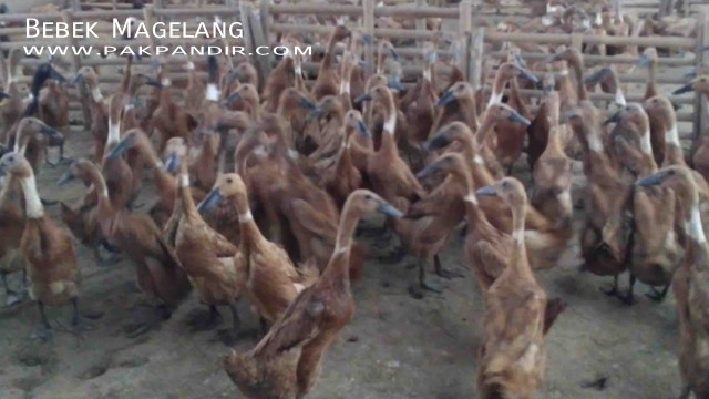 Bebek Petelur Lokal Magelang Jenis Itik Bebek Petelur Ungul Bebek Pedaging Cara Ternak Bebek Bebek Entok Itik